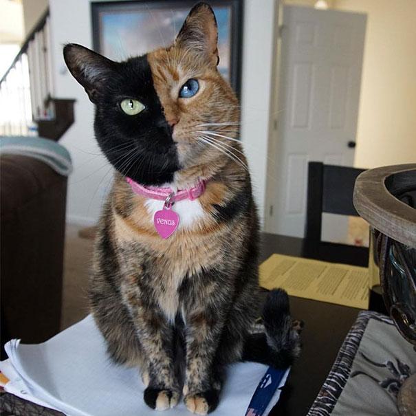 gatto con doppia faccia -